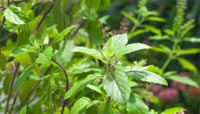Indian scientists decode Tulsi plant genome